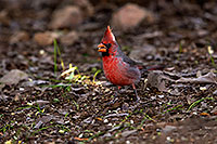 /images/133/2015-11-29-tucson-cardinal-1dx_00188.jpg - #12745: Cardinal at Arizona-Sonora Desert Museum … November 2015 -- Arizona-Sonora Desert Museum, Tucson, Arizona