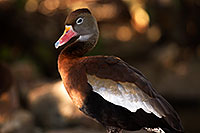 /images/133/2015-11-29-tucson-duck-1dx_00168.jpg - #12753: Black Bellied Whistling Duck at Arizona-Sonora Desert Museum … November 2015 -- Arizona-Sonora Desert Museum, Tucson, Arizona