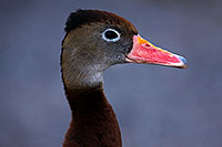 /images/133/2015-11-29-tucson-duck-1dx_00216.jpg - #12755: Black Bellied Whistling Duck at Arizona-Sonora Desert Museum … November 2015 -- Arizona-Sonora Desert Museum, Tucson, Arizona