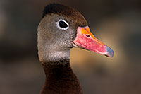 /images/133/2015-11-29-tucson-duck-1dx_00263.jpg - Birds > Black Bellied Whistling Ducks