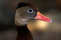 /images/133/2015-11-29-tucson-duck-1dx_00269.jpg - #12757: Black Bellied Whistling Duck at Arizona-Sonora Desert Museum … November 2015 -- Arizona-Sonora Desert Museum, Tucson, Arizona
