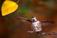 /images/133/2015-11-29-tucson-hum-1dx_00102.jpg - #12755: Annas Hummingbird (female) in Tucson, Arizona … November 2015 -- Arizona-Sonora Desert Museum, Tucson, Arizona