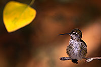 /images/133/2015-11-29-tucson-hum-1dx_00143.jpg - #12756: Annas Hummingbird (female) in Tucson, Arizona … November 2015 -- Arizona-Sonora Desert Museum, Tucson, Arizona