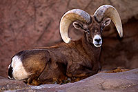 /images/133/2015-12-07-tucson-bighorn-1dx_01329.jpg - Animals > Bighorn Sheep