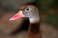 /images/133/2015-12-07-tucson-ducks-1dx_01237.jpg - #12769: Whistling Ducks in Arizona … December 2015 -- Arizona-Sonora Desert Museum, Tucson, Arizona