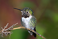 /images/133/2015-12-07-tucson-hum-1dx_00566.jpg - #12766: Annas Hummingbird in Tucson, Arizona … December 2015 -- Arizona-Sonora Desert Museum, Tucson, Arizona