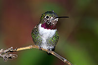 /images/133/2015-12-07-tucson-hum-1dx_00594.jpg - #12767: Annas Hummingbird in Tucson, Arizona … December 2015 -- Arizona-Sonora Desert Museum, Tucson, Arizona
