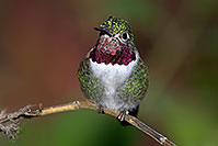 /images/133/2015-12-07-tucson-hum-1dx_00597.jpg - #12768: Annas Hummingbird in Tucson, Arizona … December 2015 -- Arizona-Sonora Desert Museum, Tucson, Arizona