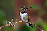 /images/133/2015-12-07-tucson-hum-1dx_00775.jpg - #12770: Annas Hummingbird in Tucson, Arizona … December 2015 -- Arizona-Sonora Desert Museum, Tucson, Arizona
