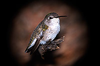 /images/133/2015-12-07-tucson-hum-1dx_01094.jpg - #12772: Annas Hummingbird (female) in Tucson, Arizona … December 2015 -- Arizona-Sonora Desert Museum, Tucson, Arizona