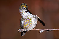 /images/133/2015-12-07-tucson-hum-28e-1dx_00531.jpg - #12774: Annas Hummingbird (female) in Tucson, Arizona … December 2015 -- Arizona-Sonora Desert Museum, Tucson, Arizona