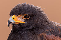 /images/133/2015-12-12-tucson-harris-1dx_01384.jpg - #12810: Harris Hawk in Tucson, Arizona … December 2015 -- Arizona-Sonora Desert Museum, Tucson, Arizona