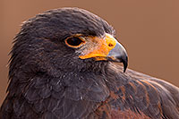 /images/133/2015-12-12-tucson-harris-1dx_01400.jpg - #12812: Harris Hawk in Tucson, Arizona … December 2015 -- Arizona-Sonora Desert Museum, Tucson, Arizona