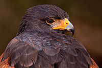 /images/133/2015-12-12-tucson-harris-1dx_01604.jpg - #12813: Harris Hawk in Tucson, Arizona … December 2015 -- Arizona-Sonora Desert Museum, Tucson, Arizona