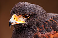 /images/133/2015-12-12-tucson-harris-1dx_01625.jpg - #12814: Harris Hawk in Tucson, Arizona … December 2015 -- Arizona-Sonora Desert Museum, Tucson, Arizona