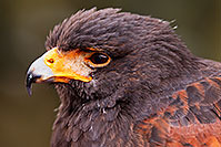 /images/133/2015-12-12-tucson-harris-1dx_01640.jpg - #12815: Harris Hawk in Tucson, Arizona … December 2015 -- Arizona-Sonora Desert Museum, Tucson, Arizona