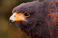 /images/133/2015-12-12-tucson-harris-1dx_01642.jpg - #12816: Harris Hawk in Tucson, Arizona … December 2015 -- Arizona-Sonora Desert Museum, Tucson, Arizona