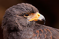 /images/133/2015-12-12-tucson-harris-1dx_01661.jpg - #12817: Harris Hawk in Tucson, Arizona … December 2015 -- Arizona-Sonora Desert Museum, Tucson, Arizona