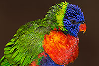 /images/133/2015-12-12-tucson-lorikeets-1dx_01921.jpg - #12820: Lorikeets in Tucson, Arizona … December 2015 -- Tucson, Arizona