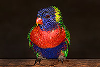 /images/133/2015-12-12-tucson-lorikeets-1dx_01931.jpg - #12822: Lorikeets in Tucson, Arizona … December 2015 -- Tucson, Arizona