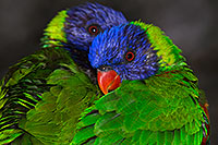 /images/133/2015-12-12-tucson-lorikeets-1dx_01959.jpg - #12824: Lorikeets in Tucson, Arizona … December 2015 -- Tucson, Arizona