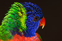 /images/133/2015-12-12-tucson-lorikeets-1dx_01981.jpg - #12826: Lorikeets in Tucson, Arizona … December 2015 -- Tucson, Arizona