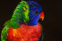 /images/133/2015-12-12-tucson-lorikeets-1dx_01984.jpg - #12827: Lorikeets in Tucson, Arizona … December 2015 -- Tucson, Arizona