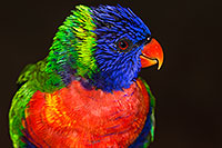 /images/133/2015-12-12-tucson-lorikeets-1dx_01993.jpg - Birds > Lorikeets