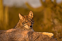 /images/133/2015-12-23-tucson-coyotes-1dx_03918.jpg - #12838: Coyote in Tucson … December 2015 -- Arizona-Sonora Desert Museum, Tucson, Arizona