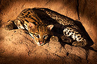 /images/133/2015-12-30-tucson-ocelot-1dx_04227.jpg - #12851: Ocelot in Tucson … December 2015 -- Arizona-Sonora Desert Museum, Tucson, Arizona