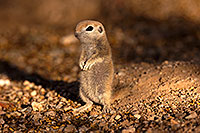 /images/133/2016-05-15-creatures-1dx_14854.jpg - #12930: Round Tailed Ground Squirrels in Tucson … May 2016 -- Tucson, Arizona