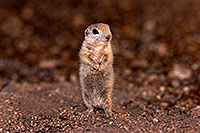 /images/133/2016-05-15-creatures-1dx_15044.jpg - #12938: Round Tailed Ground Squirrels in Tucson … May 2016 -- Tucson, Arizona
