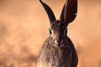 /images/133/2016-05-20-tucson-bunnies-1dx_15603.jpg - #12940: Desert Cottontail in Tucson … May 2016 -- Tucson, Arizona