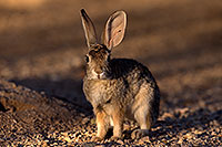 /images/133/2016-05-23-tucson-bunnies-1dx_16613.jpg - #12955: Desert Cottontail in Tucson … May 2016 -- Tucson, Arizona
