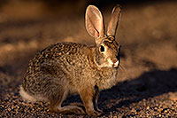 /images/133/2016-05-23-tucson-bunnies-1dx_16621.jpg - #12956: Desert Cottontail in Tucson … May 2016 -- Tucson, Arizona