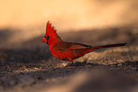 /images/133/2016-05-23-tucson-cardinal-1dx_16518.jpg - Birds > Cardinals