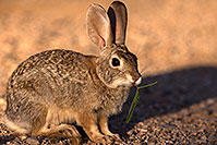 /images/133/2016-05-26-tucson-bunnies-1dx_17894.jpg - #12968: Desert Cottontail in Tucson … May 2016 -- Tucson, Arizona