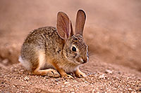 /images/133/2016-06-20-bunnies-tiny-1dx_20960.jpg - #13000: Baby Desert Cottontail … June 2016 -- Tucson, Arizona