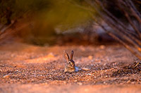 /images/133/2016-06-20-bunnies-tiny-1dx_21060.jpg - #13002: Baby Desert Cottontail … June 2016 -- Tucson, Arizona