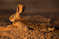 /images/133/2016-06-21-tucson-bunnies-1dx_21379.jpg - #13013: Desert Cottontail … June 2016 -- Tucson, Arizona