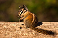 /images/133/2016-07-03-rainbow-chipmunk-1dx_22373.jpg - 13027: Chipmunks in Eastern Sierra … July 2016 -- Eastern Sierra, California