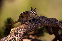 /images/133/2016-07-03-rainbow-chipmunks-1dx_22277.jpg - #13030: Chipmunks in Eastern Sierra … July 2016 -- Eastern Sierra, California