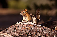 /images/133/2016-07-03-rainbow-squirrels-1dx_22231.jpg - #13031: Chipmunks in Eastern Sierra … July 2016 -- Eastern Sierra, California