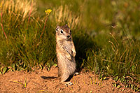 /images/133/2016-07-31-bishop-creatures-6d_0718.jpg - #13059: Ground Squirrels in Eastern Sierra, California … July 2016 -- Eastern Sierra, California