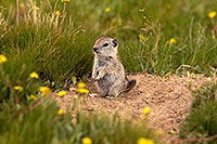 /images/133/2016-07-31-bishop-creatures-6d_0846.jpg - #13063: Ground Squirrels in Eastern Sierra, California … July 2016 -- Eastern Sierra, California