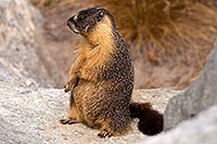 /images/133/2016-09-03-sierra-marmot-6d_1530.jpg - #13073: Yellow Bellied Marmot in Eastern Sierra, California … September 2016 -- Eastern Sierra, California