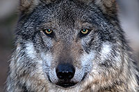 /images/133/2016-12-29-tuc-museum-wolf-1x2_1312.jpg - Animals > Wolves