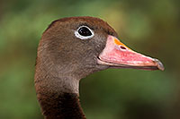 /images/133/2016-12-30-tuc-museum-ducks-1x2_1791.jpg - #13323: Black Bellied Whistling Duck in Tucson … December 2016 -- Arizona-Sonora Desert Museum, Tucson, Arizona