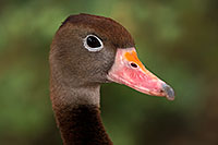 /images/133/2016-12-30-tuc-museum-ducks-1x2_1794.jpg - #13325: Black Bellied Whistling Duck in Tucson … December 2016 -- Arizona-Sonora Desert Museum, Tucson, Arizona