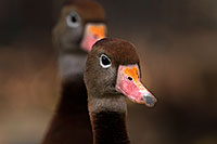 /images/133/2016-12-30-tuc-museum-ducks-1x2_1812.jpg - #13326: Black Bellied Whistling Ducks in Tucson … December 2016 -- Arizona-Sonora Desert Museum, Tucson, Arizona